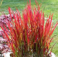 Імперата циліндрична Red Baron1 рік, Императа цилиндрическая Ред Барон, Imperata cylindrica Red Baron, фото 3