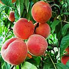 Саженцы Персика Флеминг Фьюри PF-23 - средне-поздний, крупноплодный, зимостойкий, фото 2