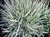 Бухарник мякий Jackdaws Cream1 рік, Бухарник мягкий Джекдоус Крем, Holcus mollis Jackdaws Cream, фото 2