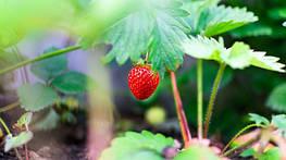 Как выбрать и купить агроволокно для клубники правильно: секреты огородника