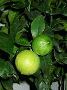 "Бергамот Фантастика (Citrus bergamia Risso ""Fantastico"") Комнатный"
