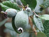Фейхоя (Acca sellowiana) 40-50 см. Комнатная, фото 1