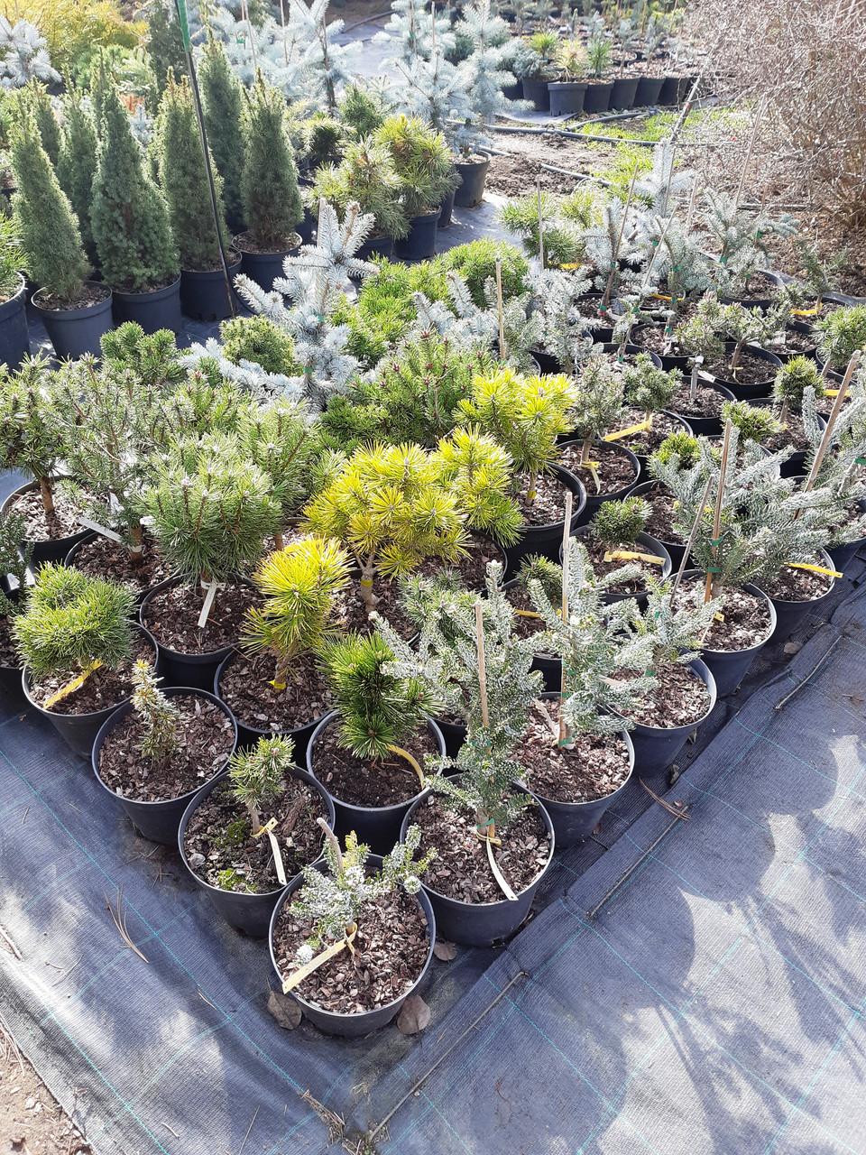 Привитые хвойные растения (ель, пихта,сосна)