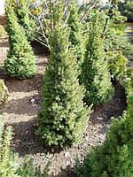 Ель канадская Коника (Picea glauca Conica) 80-90 см.