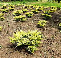 Juniperus horizontalis Limeglow (Можжевельник горизонтальный Лаймглоу) 35-40 см.