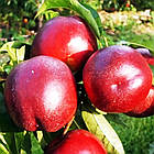 Саженцы Нектарина Эрли Стар (EARLY STAR) - средне-ранний, крупноплодный, неприхотливый, фото 2