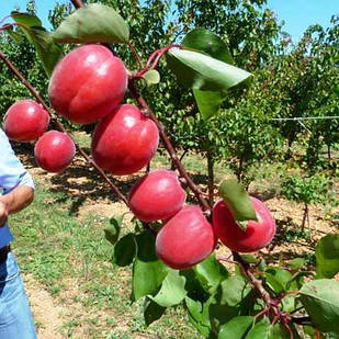 Саженцы Абрикоса Рубиста (Rubista) - ранний, крупноплодный, высокоурожайный