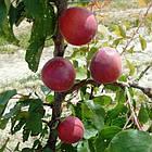Саженцы Абрикоса Рубиста (Rubista) - ранний, крупноплодный, высокоурожайный, фото 2
