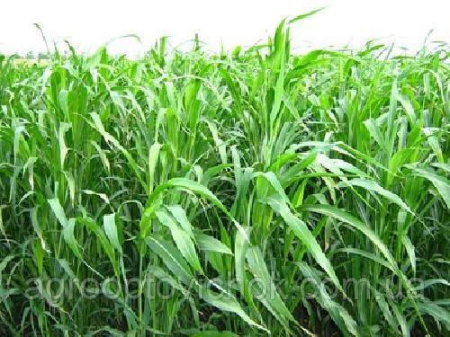 Суданка суданская трава семена от 1кг, фото 2