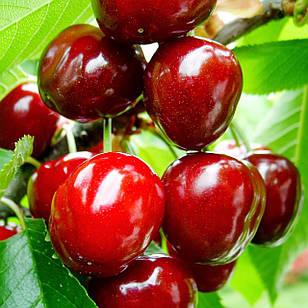 Саджанці Черешні Темпоріон – пізнього строку, крупноплідна, невибаглива, солодка