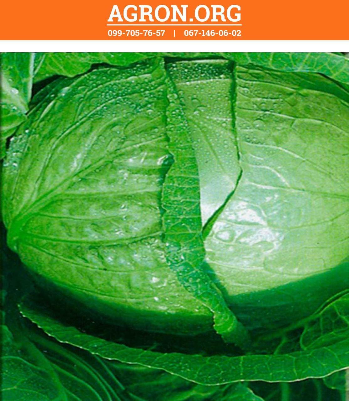 Трансфер F1 семена капусти белокочанной ультраранньої Semenaoptom 500 семян