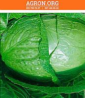 Трансфер F1 семена капусти белокочанной ультраранньої Semenaoptom 500 семян, фото 1
