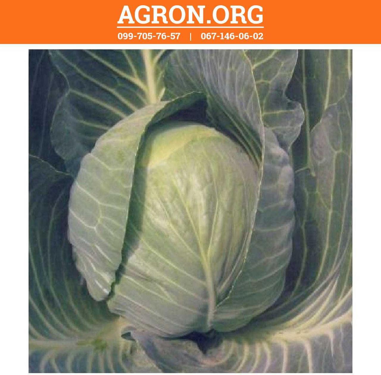 Кастелло F1 семена капусти белокочанной ранньої Hazera 1 000 семян