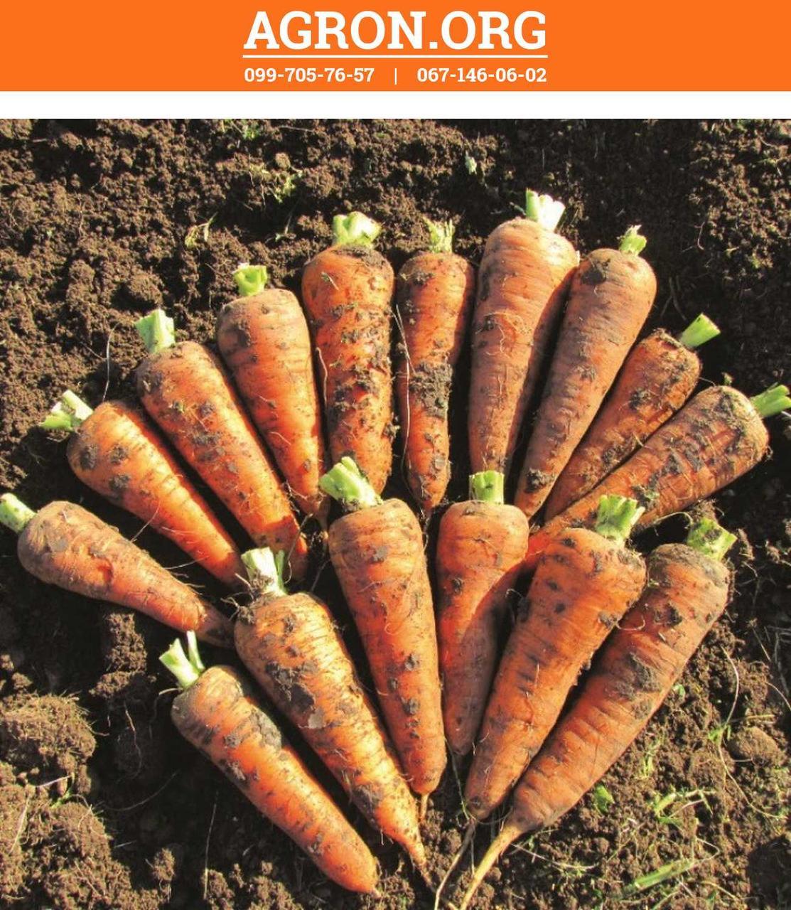 ЛС-2513 F1 (LS-2513 F1) семена моркови Берликум lucky Seed 25 г