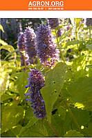 Золотой Юбилей семена мяты Садиба 0,1 г, фото 1