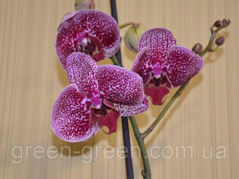 Орхидея Фаленопсис пятнистая Спотти