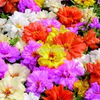 Притулок Фламенко суміш для прикраси саду з великою кількістю відтінків і рясним цвітінням, упаковка 3 г