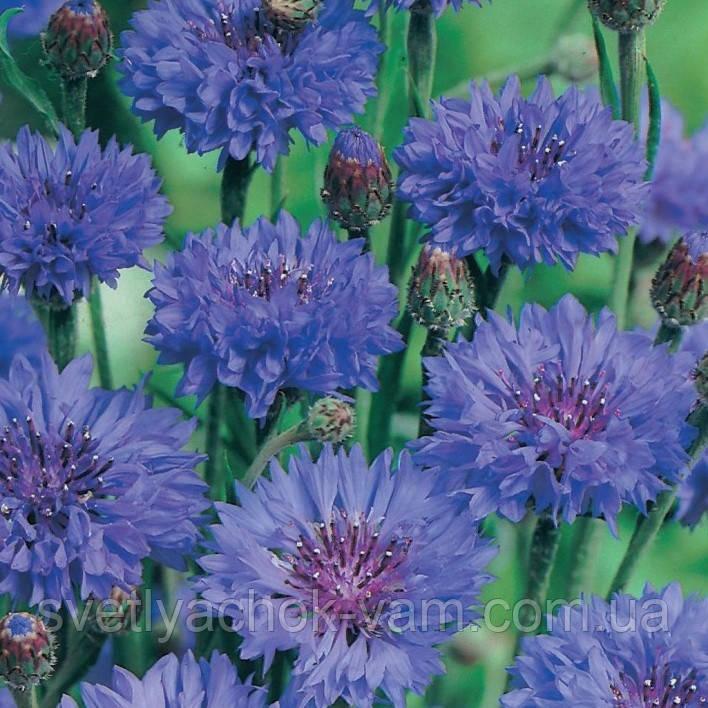 Василек Голубой Шар сорт холодостойкий растение с махровыми цветками нежной голубой окраски, упаковка 5 г