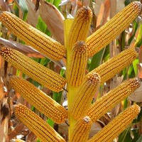Насіння кукурудзи ДМС Тренд (МАЇС)
