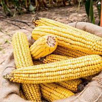 Семена кукурузы Вензель (МАИС) ФАО 280