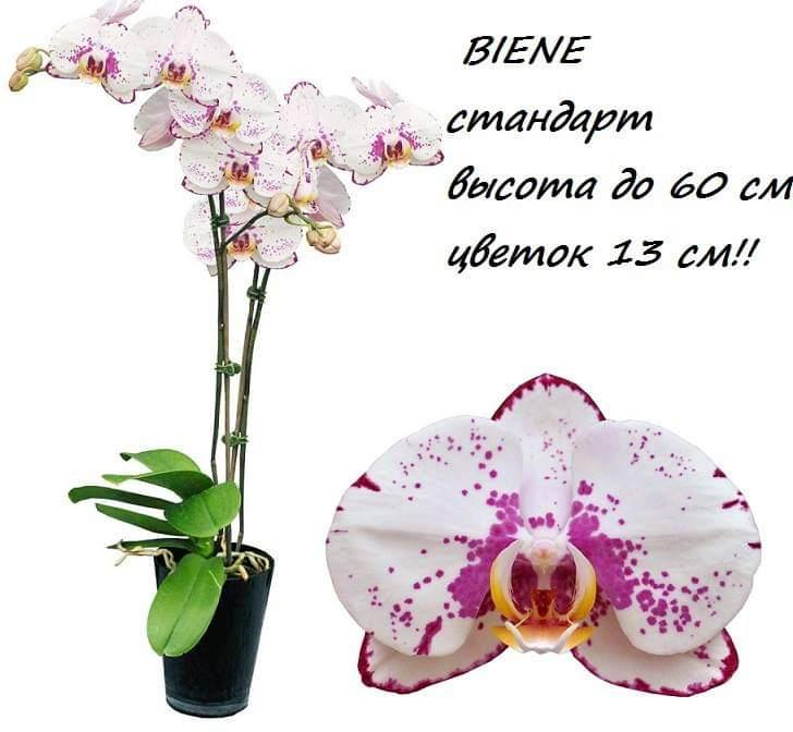 """Подростки орхидеи. Сорт Biene размер 1.7"""" без цветов"""