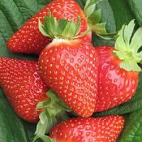 Саженцы клубники Ами сорт ранний крупноплодный устойчив к заболеваниям очень сладкий Италия