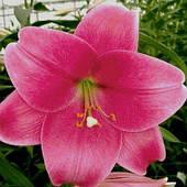 Лилия LO гибрид Pink Heaven, луковица