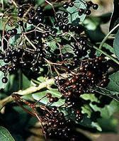 Бузина черная(плоды) 50г
