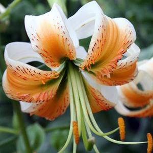 Лилия азиатская (лилия роза) Speciosum Album, луковица
