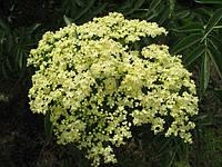 Бузина цветки 1,5г №20