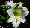 Лилии уход посадка и маленький секрет быстрого размножения