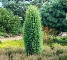 Ялівець звичайний Hibernica 3 річний, Можжевельник обыкновенный Хиберника, Juniperus communis Hibernica, фото 3