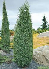 Ялівець звичайний Hibernica 3 річний, Можжевельник обыкновенный Хиберника, Juniperus communis Hibernica, фото 2