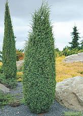 Ялівець звичайний Hibernica 4річний, Можжевельник обыкновенный Хиберника, Juniperus communis Hibernica, фото 2