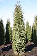 Ялівець звичайний Hibernica 4річний, Можжевельник обыкновенный Хиберника, Juniperus communis Hibernica, фото 3