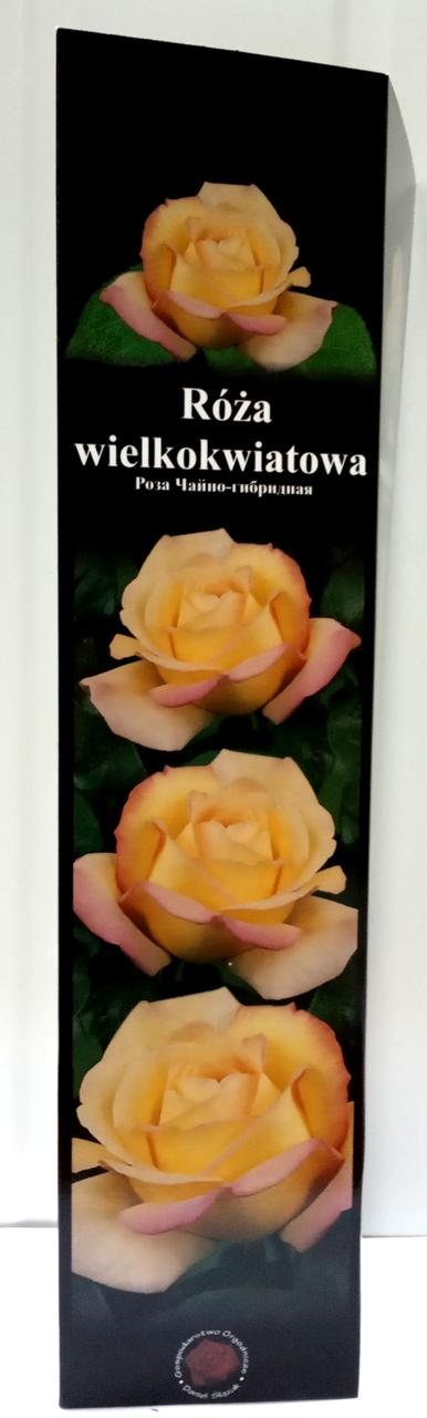 Роза чайно-гибридная Кремово-Желтая 07 1шт Польша