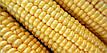 Семена саханой кукурузы Иммитатор 100шт, фото 2