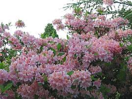 Рододендрон листопадний Soir de Paris 4 річний, Рододендрон листопадный Суар де Пари, Rhododendron / Azalea, фото 2