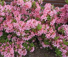 Рододендрон листопадний Soir de Paris 4 річний, Рододендрон листопадный Суар де Пари, Rhododendron / Azalea, фото 3