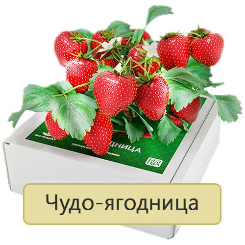 Чудо-ягодница «Домашняя грядка» для выращивания клубники в домашних условиях