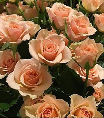 """Троянда спрей """"Ilse"""""""