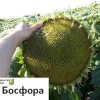 Насіння соняшнику БОСФОРУ (BOSFORA), фото 1