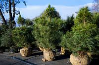 Купить сосна крымская контейнер С3, (pinus pallasiana) 20-30см