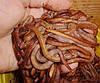 Дождевой червь. ПОЛОСАТЫЙ – Эйзения фоэтида