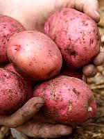 Картофель семенной Рудольф, среднепоздний 1 репродукция