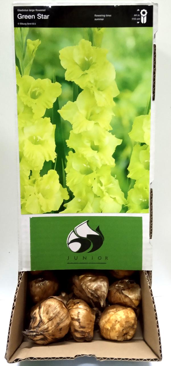 Луковицы гладиолусов Грин Стар (Green Star) 14/16 (50шт) 1шт