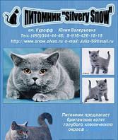 Британские котята. Питомник Silvery Snow
