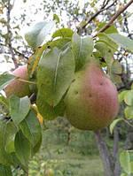 Груша осенняя - сорт Верди
