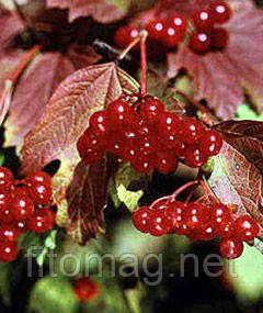 Калина ягоды 50 гр.