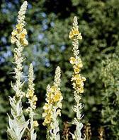 Коровяк скипетровидный цветки, стебли 50 гр.